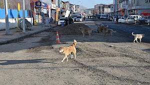 Ardahan ve Göle'de sokak köpekleri şehir turu attı