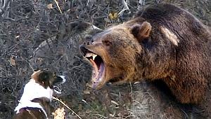 Göle'de ayı saldırısı: 1 yaralı